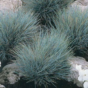 bluefescuegrass